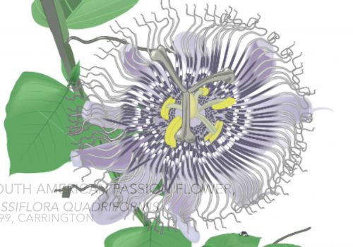 Carrington Passion Flower