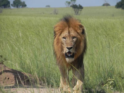 A large male lion prowls towards the camera.